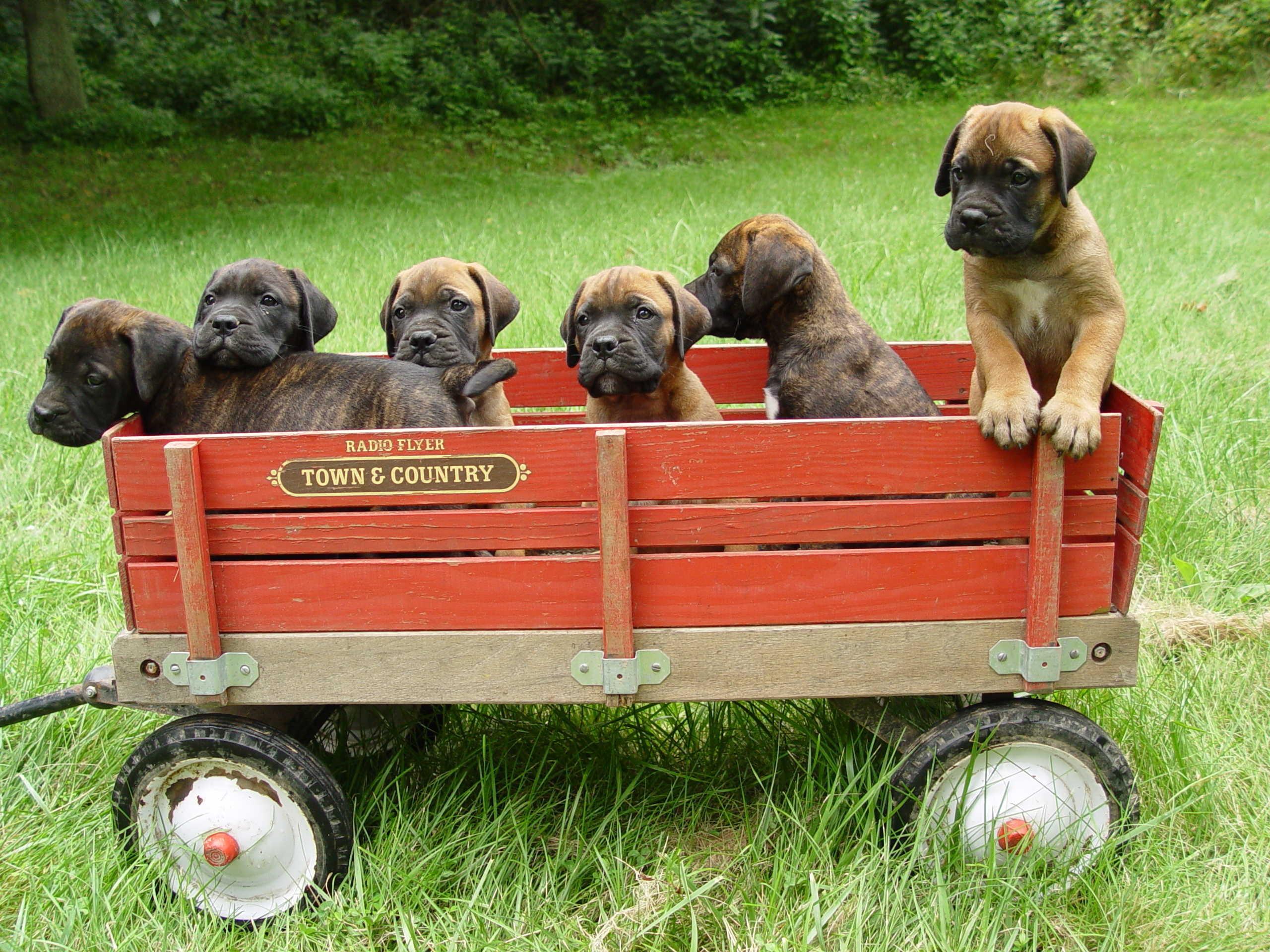 Puppies-Bullmastiff-For-Sale
